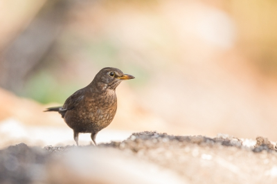 Bird picture: Turdus merula / Merel / Common Blackbird