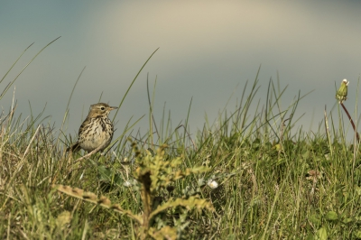 Bird picture: Anthus pratensis / Graspieper / Meadow Pipit