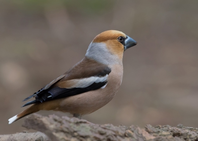 Bird picture: Coccothraustes coccothraustes / Appelvink / Hawfinch