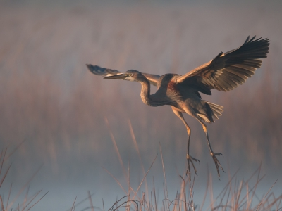 Bird picture: Ardea purpurea / Purperreiger / Purple Heron
