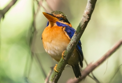 Bird picture: Actenoides concretus / Maleise Bosijsvogel / Rufous-collared Kingfisher
