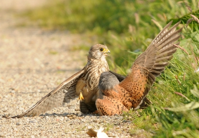 Bird picture: Falco tinnunculus / Torenvalk / Common Kestrel