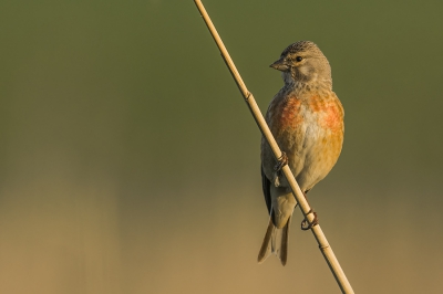 Bird picture: Linaria cannabina / Kneu / Common Linnet