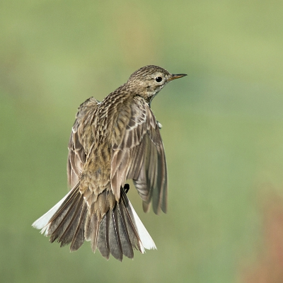1. Anthus pratensis / Graspieper / Meadow Pipit