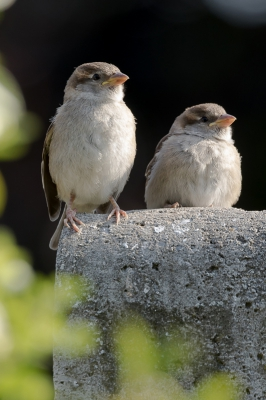 Bird picture: Passer domesticus / Huismus / House Sparrow