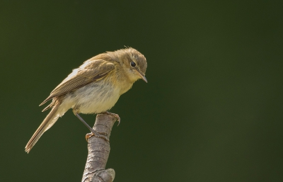 Bird picture: Phylloscopus trochilus / Fitis / Willow Warbler