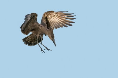 Bird picture: Scopus umbretta / Hamerkop / Hamerkop