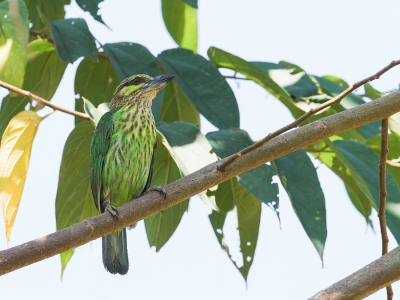 Bird picture: Psilopogon faiostrictus / Groenoorbaardvogel / Green-eared Barbet