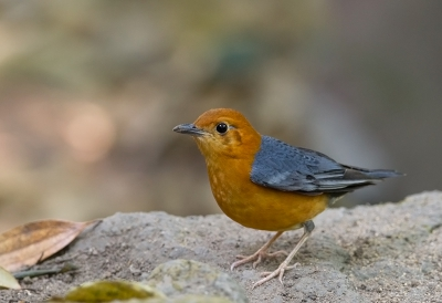Bird picture: Geokichla citrina / Damalijster / Orange-headed Thrush