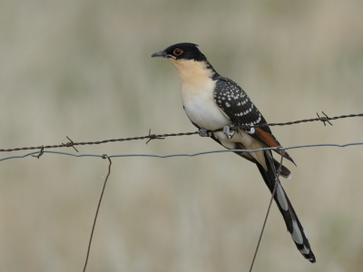 Clamator glandarius / Kuifkoekoek / Great Spotted Cuckoo