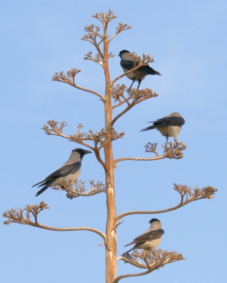 Bird picture: Corvus cornix / Bonte Kraai / Hooded Crow