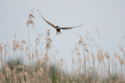 Bird picture: Chlidonias hybrida / Witwangstern / Whiskered Tern