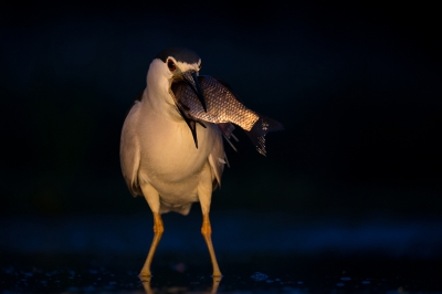Nycticorax nycticorax / Kwak / Black-crowned Night Heron