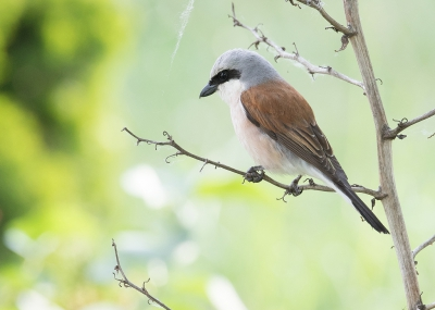 Lanius collurio / Grauwe Klauwier / Red-backed Shrike
