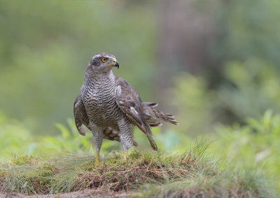 Bird picture: Accipiter gentilis / Havik / Northern Goshawk