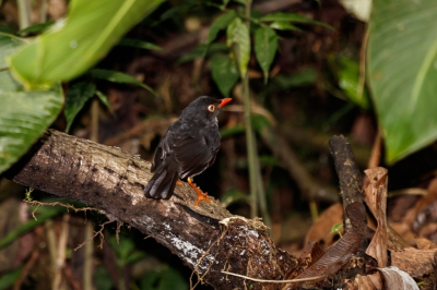 Bird picture: Catharus fuscater / Grijsrugdwerglijster / Slaty-backed Nightingale-Thrush