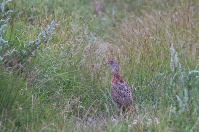 Bird picture: Phasianus colchicus / Fazant / Common Pheasant