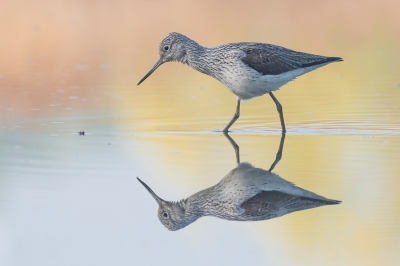 Bird picture: Tringa nebularia / Groenpootruiter / Common Greenshank