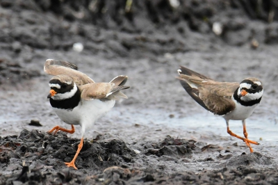 Vogel foto: Charadrius hiaticula / Bontbekplevier / Common Ringed Plover