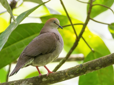 Bird picture: Leptotila cassinii / Cassins Duif / Grey-chested Dove