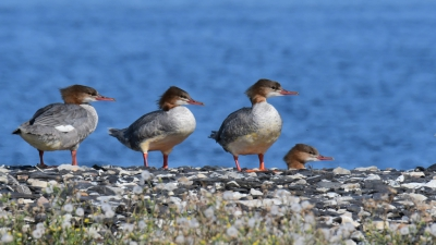 Bird picture: Mergus merganser / Grote Zaagbek / Common Merganser