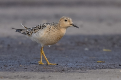Bird picture: Tryngites subruficollis / Blonde Ruiter / Buff-breasted Sandpiper