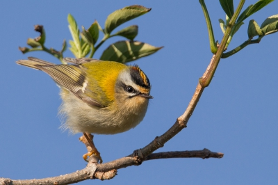 Bird picture: Regulus ignicapilla / Vuurgoudhaan / Common Firecrest