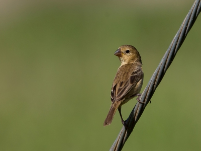 Bird picture: Sporophila minuta / Dwergdikbekje / Ruddy-breasted Seedeater