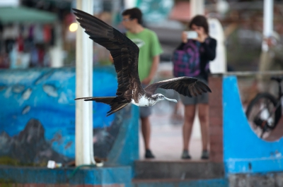 Bird picture: Fregata minor / Grote Fregatvogel / Great Frigatebird