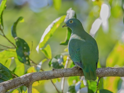 Bird picture: Ptilinopus melanospilus / Zwartnekjufferduif / Black-naped Fruit Dove