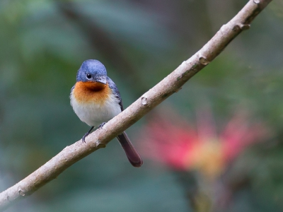 Bird picture: Myiagra ruficollis / Kaneelborstmonarch / Broad-billed Flycatcher