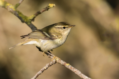Bird picture: Phylloscopus inornatus / Bladkoning / Yellow-browed Warbler
