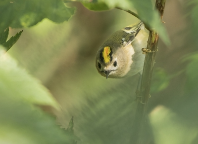Bird picture: Regulus regulus / Goudhaan / Goldcrest