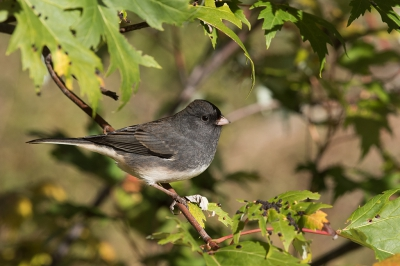 Bird picture: Junco hyemalis / Grijze Junco / Dark-eyed Junco
