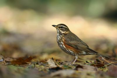 Bird picture: Turdus iliacus / Koperwiek / Redwing
