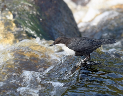 Bird picture: Cinclus cinclus / Waterspreeuw / White-throated Dipper