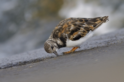 Bird picture: Arenaria interpres / Steenloper / Ruddy Turnstone