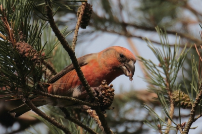 Bird picture: Loxia pytyopsittacus / Grote Kruisbek / Parrot Crossbill
