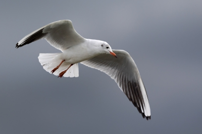 Bird picture: Chroicocephalus ridibundus / Kokmeeuw / Black-headed Gull