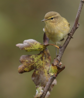 Bird picture: Phylloscopus collybita / Tjiftjaf / Common Chiffchaff