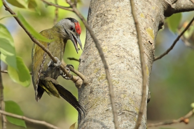 Picus canus / Grijskopspecht / Grey-headed Woodpecker