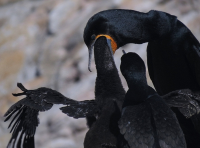 Phalacrocorax capensis / Kaapse Aalscholver / Cape Cormorant