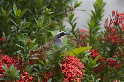 Peucaea ruficauda / Roeststaartgors / Stripe-headed Sparrow