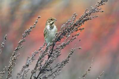 Vogel foto: Emberiza schoeniclus / Rietgors / Common Reed Bunting