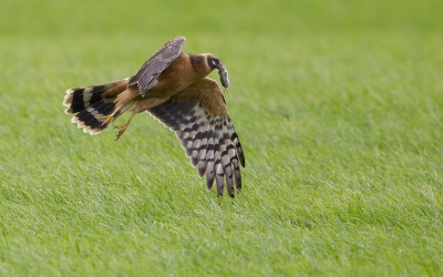 Bird picture: Circus macrourus / Steppekiekendief / Pallid Harrier