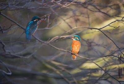Vogel foto: Alcedo atthis / IJsvogel / Common Kingfisher