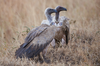 Bird picture: Gyps africanus / Witruggier / White-backed Vulture