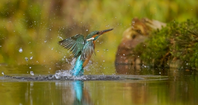 5. Alcedo atthis / IJsvogel / Common Kingfisher