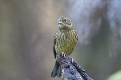 Bird picture: Emberiza citrinella / Geelgors / Yellowhammer