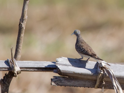 Bird picture: Geopelia maugeus / Temmincks Zebraduif / Barred Dove